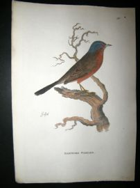 Shaw C1800's Antique Hand Col Bird Print. Dartford Warbler